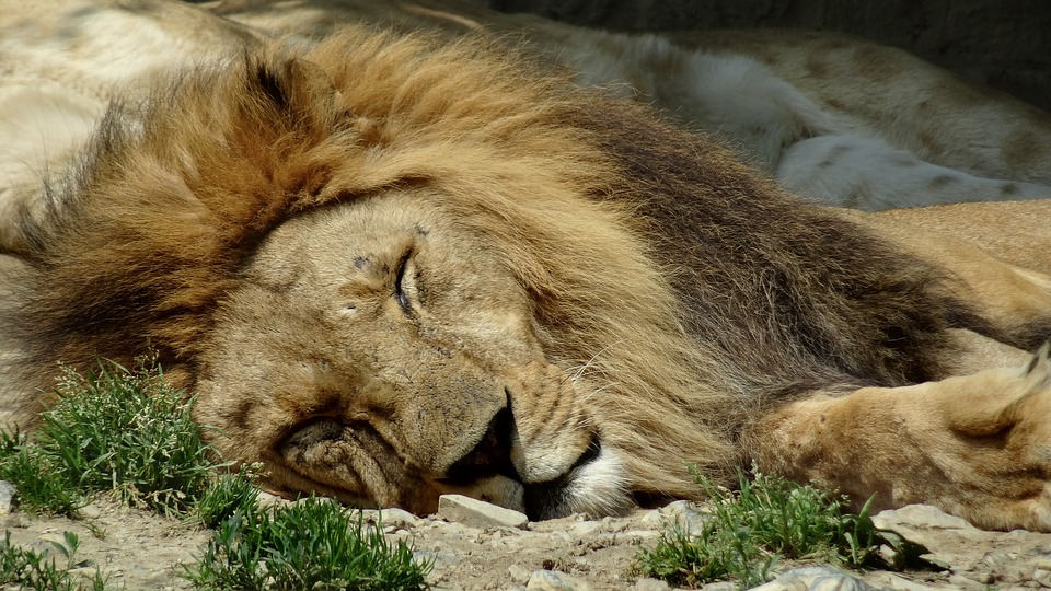 Contes algériens : le lion et la porteuse de bois